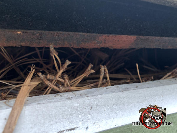 Twigs showing through a two inch gap between the roof sheathing and fascia are a squirrel nest in the eave of the roof of a house in Lithia Springs Georgia.