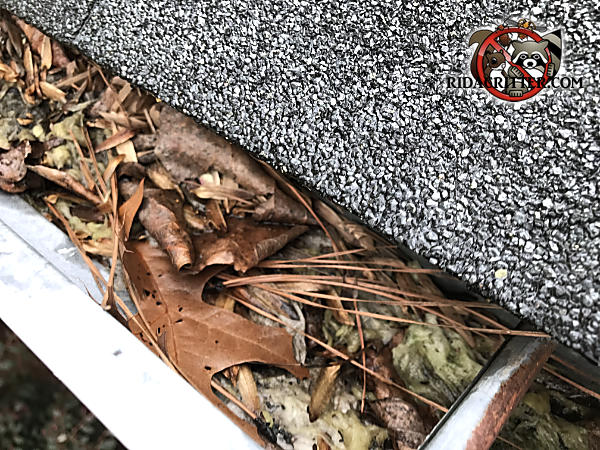 Squirrel nest made of insulation and pine needles in the rain gutter of a house in Chattanooga Tennessee