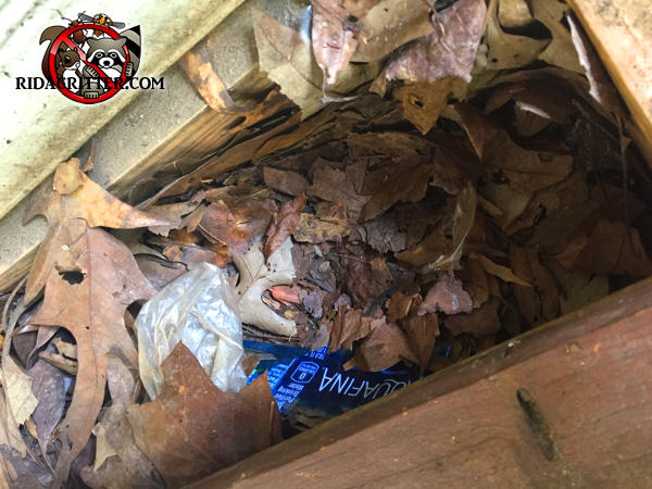 Squirrels padded the space between two joists in the attic with leaves to make a nest