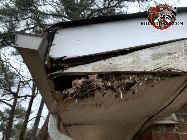 The badly water damaged roof trim and soffit panel are sagging which reveals a squirrel nest inside the soffit of a house in east Point Georgia