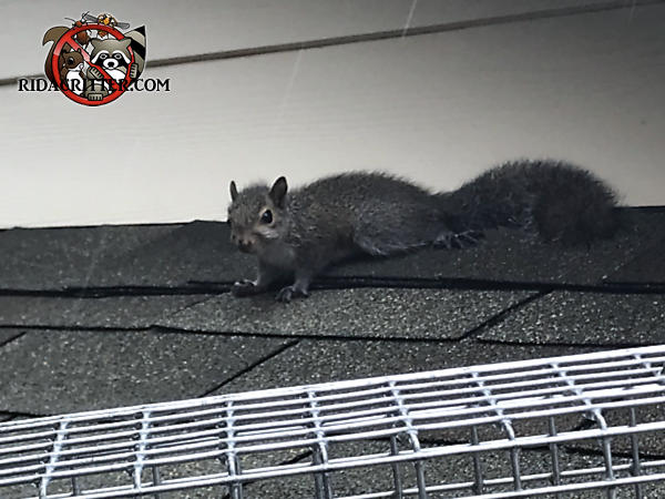 Squirrel on the roof of a porch in Albany Georgia looking at a trap and deciding whether to go into it to get the bait
