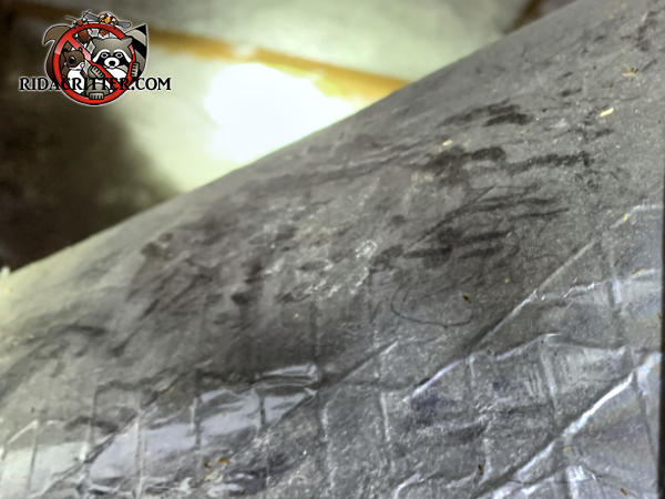 Squirrel prints in the dust on an insulated heating duct in the attic of a house in Newnan Georgia