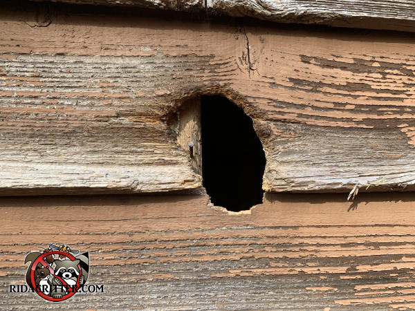 Squirrel gnawed at a woodpecker hole in the wood siding to get into a house in Marietta Georgia