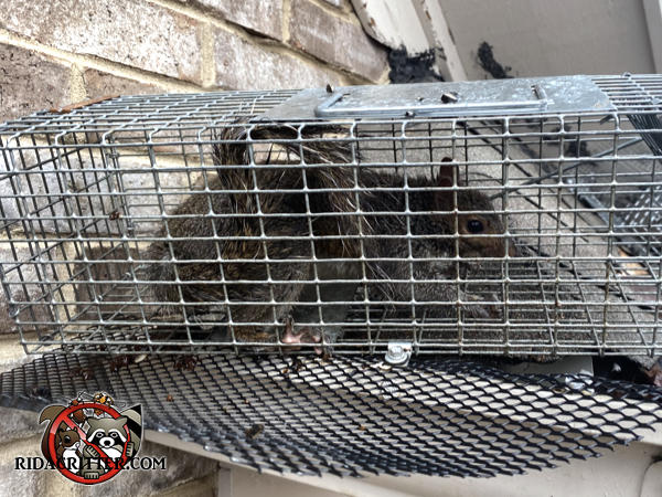 Young gray squirrel in a cage type trap after being caught and removed from the attic of a house in Columbus Georgia.