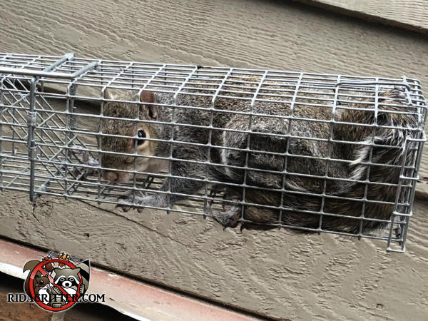 Gray squirrel in a cage type trap awaiting relocation to its new home in the forest after being removed from the attic of a house in Roberta Georgia.