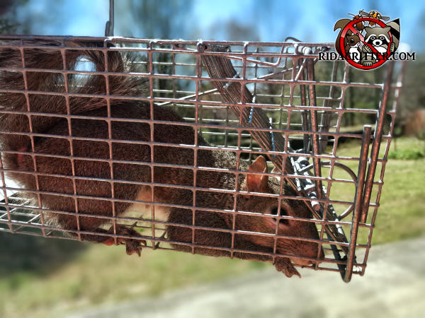 Young squirrel in a cage type trap after being removed from the attic of a house in East Ridge Tennessee