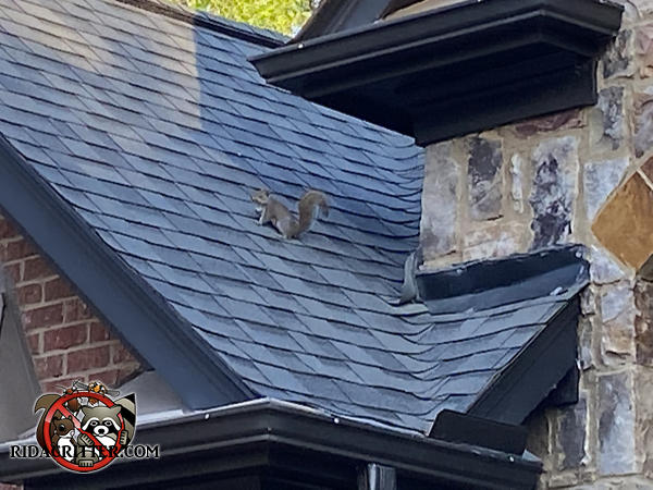 Gray squirrel poised on the roof of a house in Pendergrass Georgia appears nervous when our squirrel removal crew arrived.