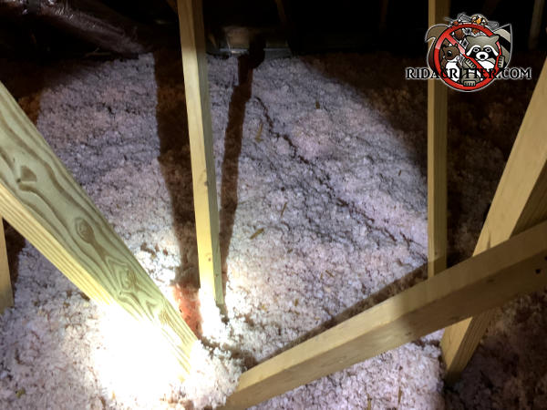 Squirrel trails through the attic insulation are silent evidence that a house in East Ridge Tennessee needs squirrel removal