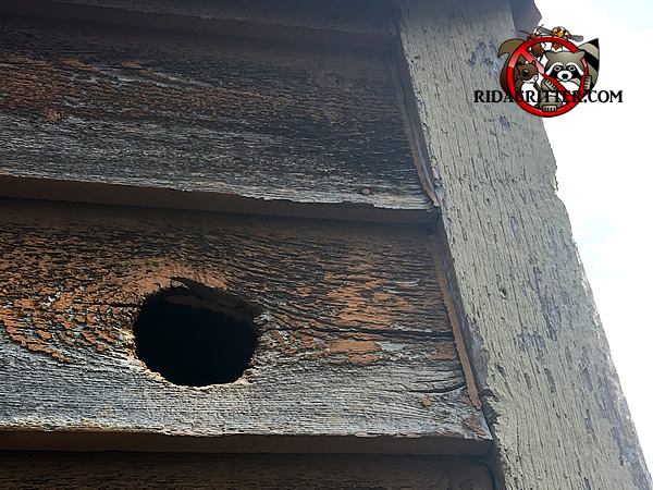 Squirrel moved into a hole made by a woodpecker in the wooden siding of a house in Atlanta Georgia