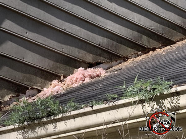 Insulation kicked out onto the porch roof by squirrels getting into a house in Peachtree City Georgia