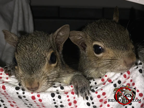 Two young squirrels with only their heads peeking out from a cloth after being removed from a house in Birmingham Alabama