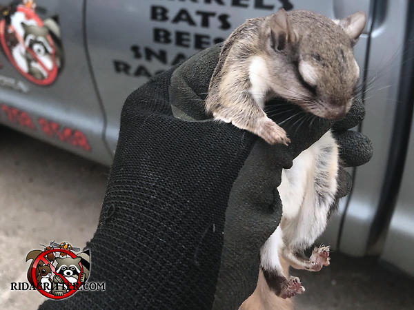 Sleeping young squirrel being held in the gloved hand of an animal removal technician after being removed from the attic of a house in Atlanta