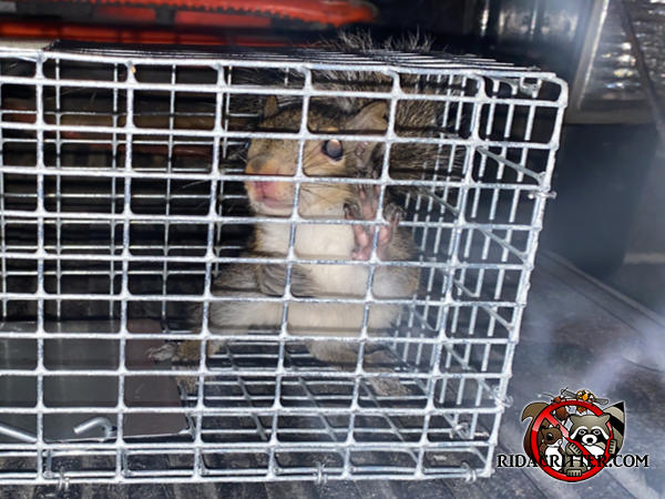 Young squirrel in a cage trap facing the camera after being removed from the attic of a house in Atlanta.