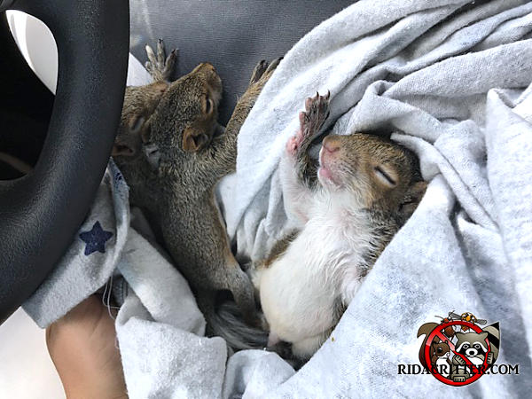 Three young squirrels lying on a sweatshirt in the front seat of a pickup truck after being removed from a house in Atlanta