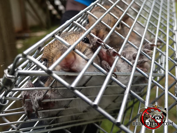 Two young squirrels in a trap and facing the camera after being removed from the attic of a house in Dunwoody Georgia