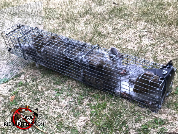 Several young squirrels in a cage trap sitting on the ground after having been removed from the attic of a house in Atlanta