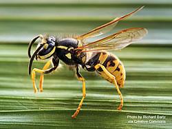 Close-up of a yellow jacket wasp