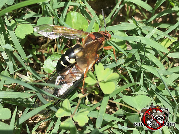 Cicada killer wasp with a cicada in the lawn outside a house in Atlanta