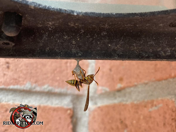 Paper wasp building the very beginning of a nest suspended from some sort of protuberance attached to a house in Duluth Georgia.