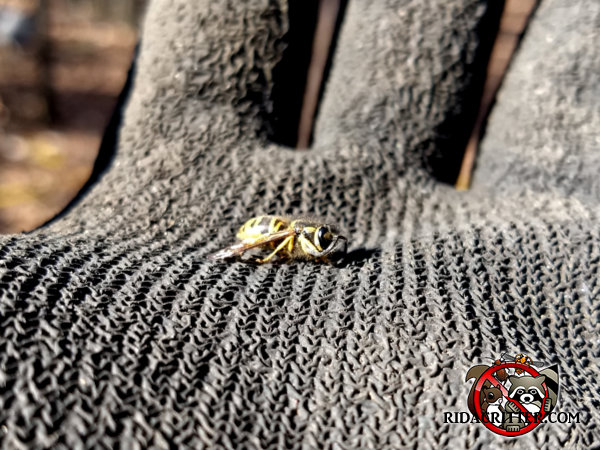 Yellow jacket wasp sitting in the gloved hand of a technician in Atlanta