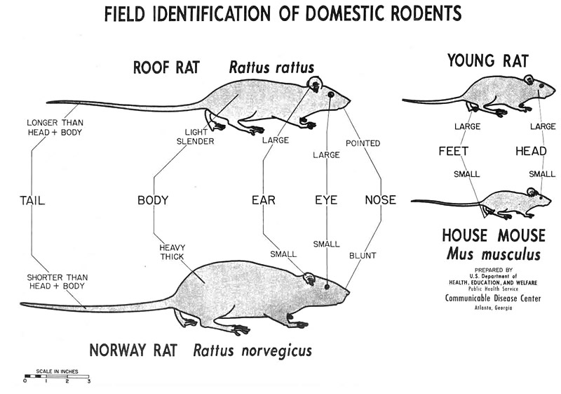 CDC chart showing the differences between roof rats, Norway rats, and house mice