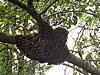 Honey bees tightly clustered on the limb of a tree during a swarm