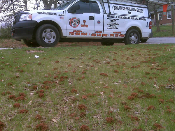Digger bees in a lawn in Sandy Springs